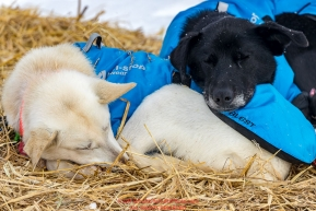 Anna Berington's dogs sleep at the Kaltag village checkpoint on Sunday afternoon March 11th during the 2018 Iditarod Sled Dog Race -- AlaskaPhoto by Jeff Schultz/SchultzPhoto.com  (C) 2018  ALL RIGHTS RESERVED