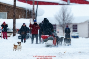 A local pug dog watches as Iditarod musher Lars Monson passes by in the Kaltag village checkpoint on Sunday morning March 11th during the 2018 Iditarod Sled Dog Race -- AlaskaPhoto by Jeff Schultz/SchultzPhoto.com  (C) 2018  ALL RIGHTS RESERVED