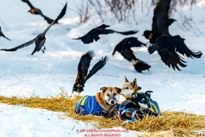 Ravens eating left over dog food scatter as some of Hugh Neff's dogs relax at the Kaltag checkpoint during the 2017 Iditarod on Sunday evening  March 12, 2017.Photo by Jeff Schultz/SchultzPhoto.com  (C) 2017  ALL RIGHTS RESERVED