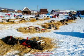 Teams rest on straw in the sun at the Kaltag checkpoint during the 2017 Iditarod on Sunday afternoon March 12, 2017.Photo by Jeff Schultz/SchultzPhoto.com  (C) 2017  ALL RIGHTS RESERVED