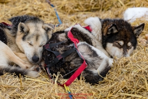 Mike Williams Jr. dogs rest on straw at the Unalakleet checkpoint on Monday  afternoon March 12th during the 2018 Iditarod Sled Dog Race -- AlaskaPhoto by Jeff Schultz/SchultzPhoto.com  (C) 2018  ALL RIGHTS RESERVED