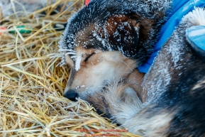 A Robert Redington dog sleeps at the Koyuk checkpoint during the 2017 Iditarod on Tuesday morning March 12, 2017.Photo by Jeff Schultz/SchultzPhoto.com  (C) 2017  ALL RIGHTS RESERVED