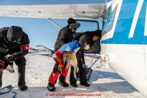 Volunteer pilot Greg Fischer loads a dropped dog at the Kaltag checkpoint on the afternoon of Sunday  March 15, 2015 during Iditarod 2015.  (C) Jeff Schultz/SchultzPhoto.com - ALL RIGHTS RESERVED DUPLICATION  PROHIBITED  WITHOUT  PERMISSION