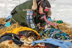 Veterinarian George Stroberg examines dogs in the afternoon headed at the White Mountain checkpoint on Tuesday March 16, 2015 during Iditarod 2015.  (C) Jeff Schultz/SchultzPhoto.com - ALL RIGHTS RESERVED DUPLICATION  PROHIBITED  WITHOUT  PERMISSION