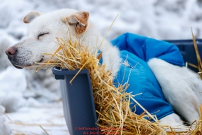 A Larry Daugherty dog rests on straw in a dog kennel in Nome  during the 2017 Iditarod on Friday March 17, 2017.Photo by Jeff Schultz/SchultzPhoto.com  (C) 2017  ALL RIGHTS RESERVED