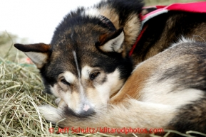 One of Deedee Jonrowe's dogs sleeps at Rainy Pass checkpoint March 4, 2013.