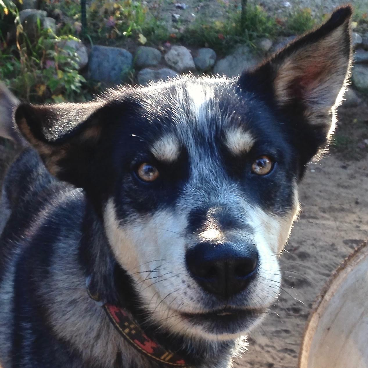 AK Sled Dog Tours   Talkeetna, Alaska